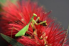 DSC_0043 - dinner! (jangurney) Tags: macro d5500 nikon nature dinner wasp prayingmantis closeup flower