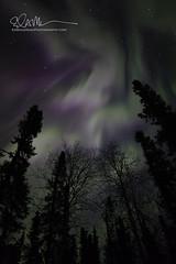 _64A1617 (Ed Boudreau) Tags: alaska northernlights auroraborealis nightphotography nightsky stars aurora winter winterscene winterscape landscape alaskalandscape landscapephotography auroratrapperscreek petersvillerd auroracolors