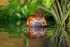 False Tomato Frog D75_7237.jpg (Mobile Lynn) Tags: amphibian frog falsetomatofrog nature captive fauna wildlife bournemouth england unitedkingdom gb coth specanimal sunrays5 coth5