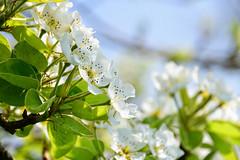 Floraison printannière (Croc'odile67) Tags: nikon d3300 sigma contemporary 18200dcoshsmc fleurs flowers printemps spring fruhling nature