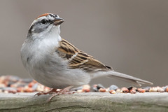 Chipping Sparrow 4-1-2017-2 (Scott Alan McClurg) Tags: emberizidae flickr passeri passeroidea spasserina spizella animal back backyard bird chipping chippingsparrow eat life nature naturephotography neighborhood perch perching songbird sparrow spring suburbs tree wild wildlife woods yard delaware