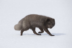 Iceland (richard.mcmanus.) Tags: iceland arctic arcticfox hornstrandir westfjords animal mammal mcmanus snow winter fox