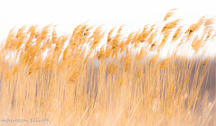 Who Has Seen The Wind (maureen.elliott) Tags: reeds growing movement plants blowing nature marsh pointpelee highkey wind breeze motionblur