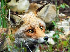 Mirada de Zorro (Patricia Megías) Tags: zorro animalsalvaje cazorla naturaleza