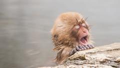 Nagano - Sneeuwmakaak 02 (coopertje) Tags: sneeuwmakaak makaak macaque snowmonkey nagano japanesemacaque japan jigokudanimonkeypark jigokudanijaenkoen