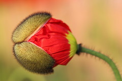 Birth of a poppy (Croix-roussien) Tags: flower poppy coquelicot naissance birth red rouge aetistic fabuleuse