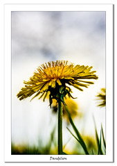 Dandelion (Travels with a dog and a Camera :)) Tags: lightroom cc spring england flower dandelion photoshop 2015 hdr photomatix 2017 weed tamron af 18200mm f3563 xr di ii ld asperical if macro justpentax digital bristol pentax k5 art south west netham park uk april lightroomcc nethampark pentaxart pentaxk5 photoshopcc2015 southwest tamronaf18200mmf3563xrdiiildaspericalifmacro unitedkingdom gb