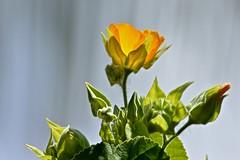 In The Sun (ACEZandEIGHTZ) Tags: abutilon denticulate fruticosum nikon d3200 plant flower yellow sunshine bright colors