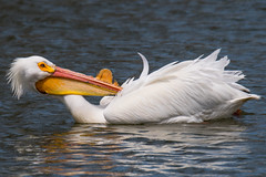 Bass-Ackwards... (ragtops2000) Tags: americanwhitepelican migrating iowa lakemanawa contortionist lake water colorful detail stop journey big enormous orange yellow white northamericanbird largest tamron150600g2 nikond500