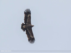 Steppe Eagle (Aquila nipalensis) (gilgit2) Tags: altit avifauna birds canon canoneos7dmarkii category fauna feathers geotagged gilgitbaltistan hunza imranshah location pakistan species steppeeagleaquilanipalensis tags tamron tamronsp150600mmf563divcusd wildlife wings gilgit2 aquilanipalensis