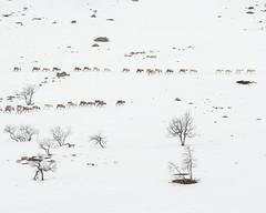 Nipfjället I (Gustaf_E) Tags: berg fjäll landscape landskap nipfjället raindeer ren renar sverige sweden vinter winter
