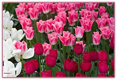 colors to woo and wow you! (MEA Images) Tags: tulips flowers gardens fields blooms flora nature skagitvalleytulipfestival roozengaarde mountvernon washington canon picmonkey