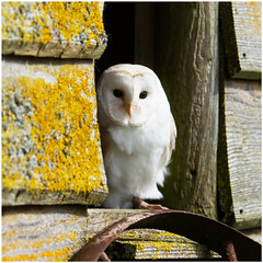 Barn-Owl (Maw*Maw) Tags: photoshop overlay 50 canon eos 7d 70200mm l is 13 underexposed