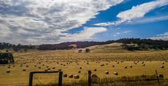 Hay field on the wheat belt (Lanceflot) Tags: hay straw field haystack agriculture australia australasia western country farming farm animals feeding sun sky yellow blue clouds huge rolls bails rounded scenic