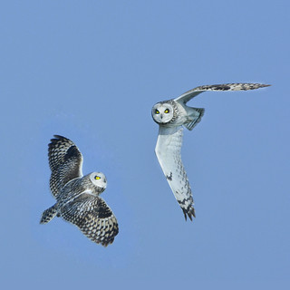 What a nice girl like you doing in a place like this? Short eared owls