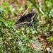 Swallowtail Butterfly Beside Pilant Slough