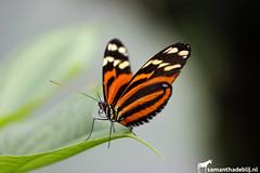 Butterfly (PAPERCUTSKIN) Tags: butterfly insect wings orange yellow leaf animal vlindersaandevliet vlinders aan de vliet