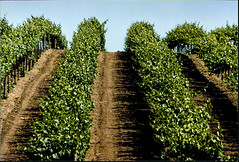 Vines, Domaine Carneros (Bill in DC) Tags: ca california 1991 film canon eos660 kodacolor smp3 napa domainecorners