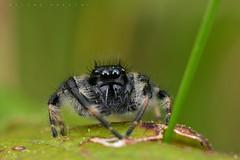 Carrhotus xantogramma, mâle (Averan) (G. Pottier) Tags: carrhotusxantogramma carrhotus xantogramma salticidae saltique araignéesauteuse jumpingspider