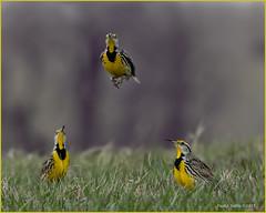 Frisky Western  Meadowlark Males (jackalope22) Tags: western meadowlarks males ritual dance mating jumps yellow