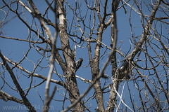 """Williamson's Sapsucker • <a style=""""font-size:0.8em;"""" href=""""http://www.flickr.com/photos/63501323@N07/33964471560/"""" target=""""_blank"""">View on Flickr</a>"""