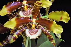 Rossioglossum grande (species orchids) Tags: rossioglossumgrande seedling species orchids plants botanical