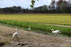 CDD2536 (Fransang) Tags: zwarte witte zwanen loosterweg voorhout lisse black swans white