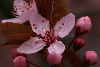 Bursting Blossoms
