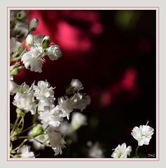 Gypsophile (thierrymazel) Tags: gypsophile bouquet fleurs flowers blossom macro profondeur champ bokeh cadre bordure