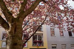 Once a year (25/8) Tags: kirschblüte bonn altstadt nordstadt captureone