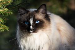 DSC_0587.jpg (metturn) Tags: ragdoll birman animalportrait sealmitted portrait noseblaze cats blaze blueeyes cat animals felines kråkerøy bailey sealcolor