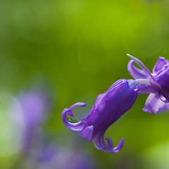 P4150177 (jos arents) Tags: hyacinthus hyacinth ockenburgh plant