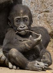 Little Leslie (ToddLahman) Tags: littleleslie baby babygorilla westernlowlandgorilla winston kokamo sandiegozoosafaripark safaripark canon7dmkii canon canon100400 closeup portrait outdoors mammal toothpik