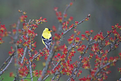 Goldfinch (meghanhawk) Tags: finch bird flowers tree feathers animal yellow
