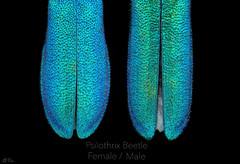 Psilothrix Beetle (Can Tunçer) Tags: can cantunçer cantuncer canon canon6d closer macro makro macros macrophotography micro mikro makros microscop microscope mitutoyo mitu5x nature tunçer turkey turkiye türkiye tuncer stack stacking studio setup green metalic
