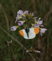 Oranjetipje male / Anthocharis cardamines (m.ritmeester) Tags: ngc naturelovers natuur nederland gelderland groen oranje oranjetipje wit zwart bruin vlinders