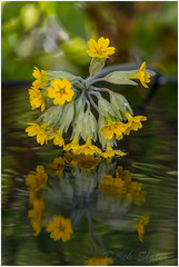IMG_3733 (Derek.S) Tags: burntwood england unitedkingdom gb garden flowers reflection cowslip