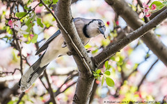 Blue Jay Snack (20170416-DSC02505) (Michael.Lee.Pics.NYC) Tags: newyork centralpark conservatorygarden bluejay bird insect hunting feeding wasp bokeh sony a6500 fe70300mmg