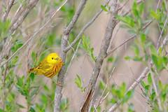 Yellow Warbler (wn_j) Tags: birds birding nature naturephotography animals wildlife wildanimals wildlifephotography songbirds bombayhook warbler canon canon5d4 canon400mm