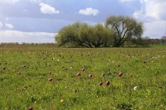 Schachblumenwiese Hetlingen (Elbmaedchen) Tags: schachbrettblume schachblume blumen gewächs natur nature hetlingen wiese chessflower field