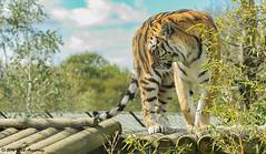 Tiger_Amur05.jpg (Mick J F Armstrong) Tags: 2017 amurtiger april bangladesh bhutan india myanmar nepal paradisewildlifepark siberiantiger tiger