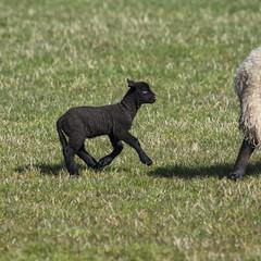 Little Black Lamb (Margaret S.S) Tags: spring lamb black sheep