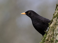 Blackbird     Turdus merula (michael.smith86) Tags: canon 7dmk2 150600 sigma blackbird turdusmerula forge valley yellow bill contemporary eye east yorkshire black