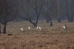 Great white egrets (Jurek.P) Tags: egret birds masuria mazury poland polska ptaki czaple jurekp sonya77