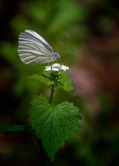 Bitter Sip (Portraying Life, LLC) Tags: k1da3004hd14tc handheld nativelighting michigan usa butterfly early