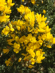 Flowering gorse (bryanilona) Tags: flowers thorns shrub gorse wales fantasticflowers naturewatcher lovelyflowers languageofflowers flowerwatcher saveearth