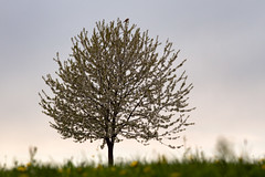 Tree in spring (Vitatrix) Tags: baum natur blüten frühling falke wiese spring badenwürttemberg himmel outdoor