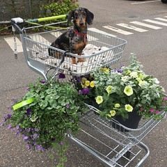 Jetje flowerqueen (arina23111963) Tags: dapple dachshund mayqueen flowers lochem intratuin instagramapp square squareformat iphoneography