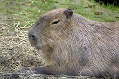 Capybara (ucumari photography) Tags: ucumariphotography cincinnati zoo ohio april 2017 capybara hydrochoerushydrochaeris animal rodent dsc2009 specanimal