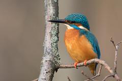 Common Kingfisher - Eisvogel (rengawfalo) Tags: commonkingfisher alcedoatthis eisvogel kingfisher natuer animals bird vogel wildlife